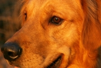 golden retriever close-up