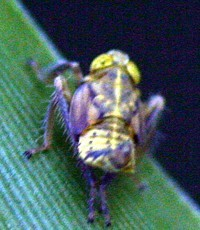 leafhopper yellow