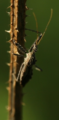 Assassin Bug Climbing Thistle