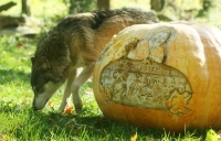 Timber Wolf by Pumpkin