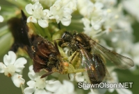 Ambush Bug eating bee photo