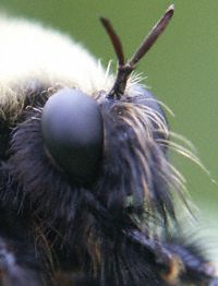 Robber Fly Face Photo
