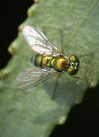 Fly, Green Small 2