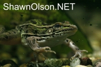 Leopard Frog in Water