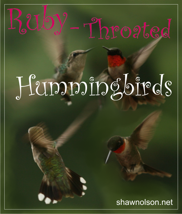 ruby-throated hummingbird graphic