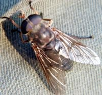 horsefly pic