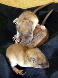 baby rodent photos